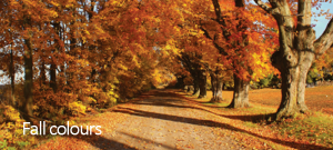 Photo of a country road in the fall with large maple trees.