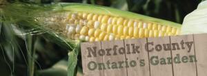 Corn in Norfolk County