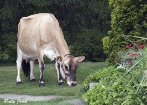 Jersey cow Meadow Lynn