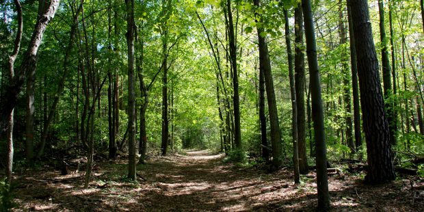 Forest trail. Open forest floor with lush green leaves overhead.