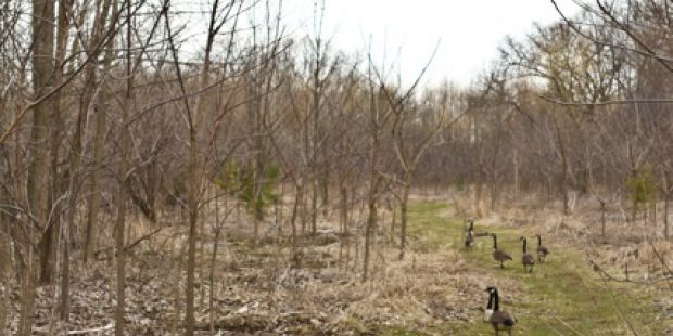 Grassy path with a group of Canada geese. Path goes through short bare trees.