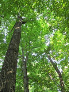 Backus Woods in Summer