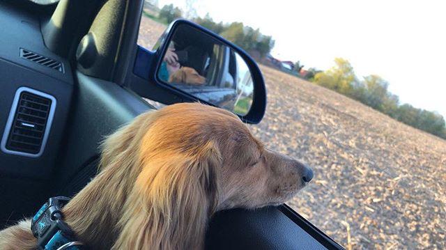 #DogsofNorfolk June - Olive enjoying Norfolk County drive!