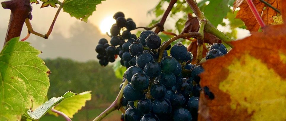 grapes norfolk